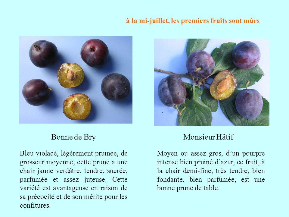à la mi-juillet, les premiers fruits sont mûrs Bleu violacé, légèrement pruinée, de grosseur moyenne, cette prune a une chair jaune verdâtre, tendre,