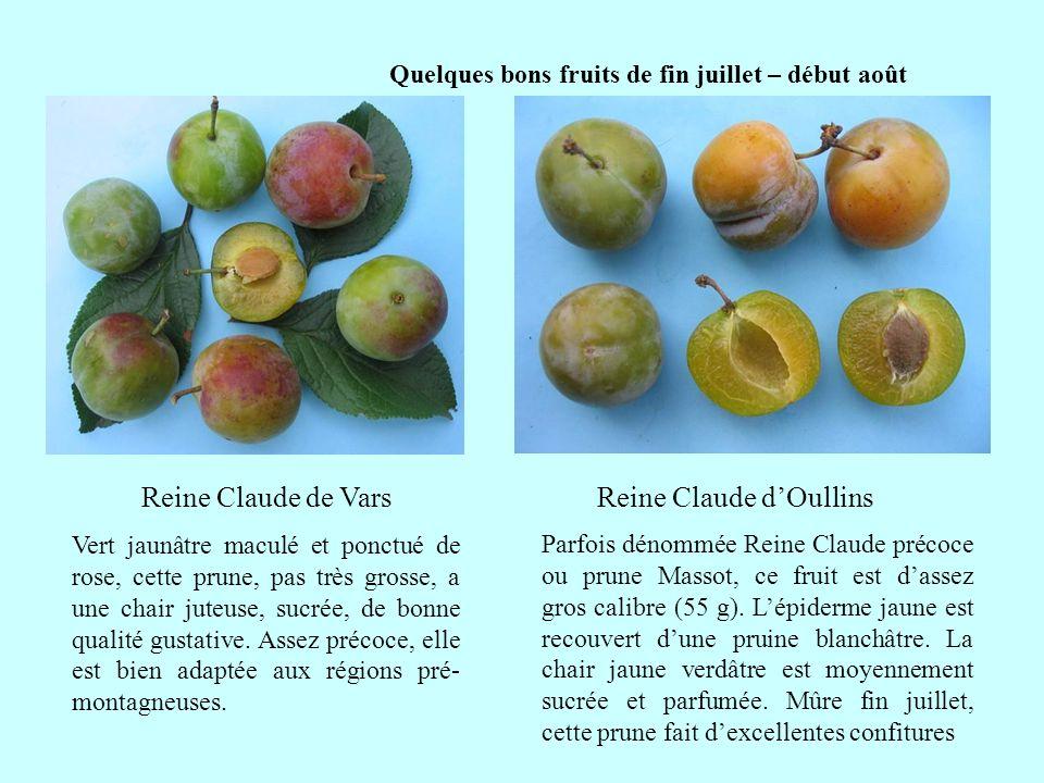 Quelques bons fruits du début du mois daoût Reine Claude de Moissac suite Originaire du Tarn-et-Garonne, cette prune de calibre moyen (30/40 g.) a une forme typique de Reine Claude, avec une abondante pruine blanche.