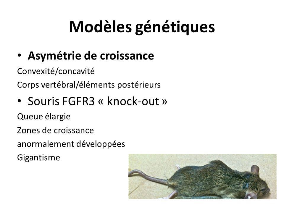 Modèles génétiques Asymétrie de croissance Convexité/concavité Corps vertébral/éléments postérieurs Souris FGFR3 « knock-out » Queue élargie Zones de croissance anormalement développées Gigantisme