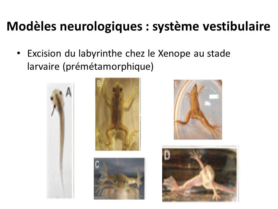 Modèles neurologiques : système vestibulaire Excision du labyrinthe chez le Xenope au stade larvaire (prémétamorphique)
