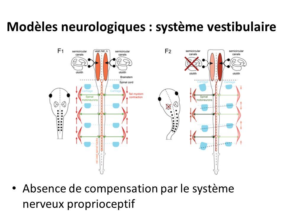 Modèles neurologiques : système vestibulaire Absence de compensation par le système nerveux proprioceptif