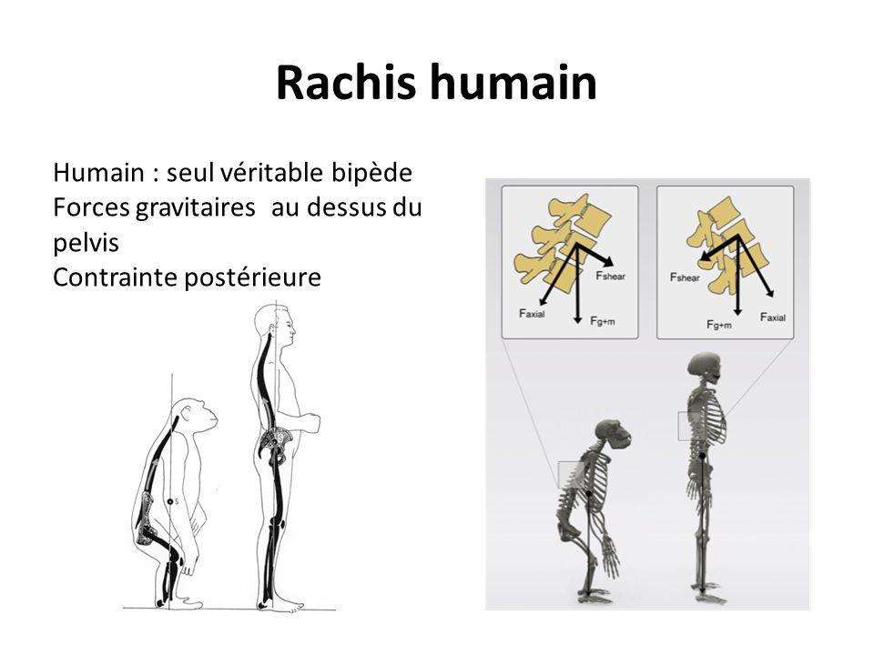 Rachis humain Humain : seul véritable bipède Forces gravitaires au dessus du pelvis Contrainte postérieure