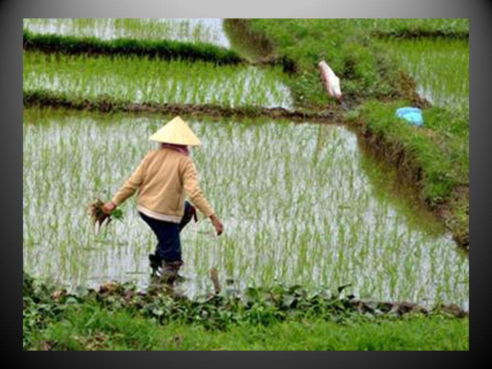Lor vert des rizières, un peu partout au pays…….