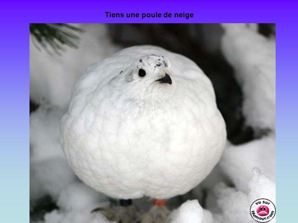 Tiens une poule de neige