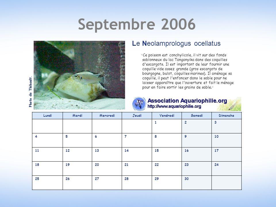 Septembre 2006 LundiMardiMercrediJeudiVendrediSamediDimanche 123 45678910 11121314151617 18192021222324 252627282930 Le Neolamprologus ocellatus Ce poisson est conchylicole, il vit sur des fonds sablonneux du lac Tanganyika dans des coquilles d escargots.
