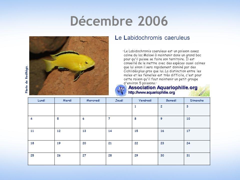 Décembre 2006 LundiMardiMercrediJeudiVendrediSamediDimanche 123 45678910 11121314151617 18192021222324 25262728293031 Le Labidochromis caeruleus Le Labidochromis caeruleus est un poisson assez calme du lac Malawi à maintenir dans un grand bac pour qu il puisse se faire son territoire.