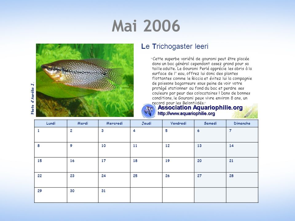 Mai 2006 LundiMardiMercrediJeudiVendrediSamediDimanche 1234567 891011121314 15161718192021 22232425262728 293031 Le Trichogaster leeri Cette superbe variété de gourami peut être placée dans un bac général cependant assez grand pour sa taille adulte.