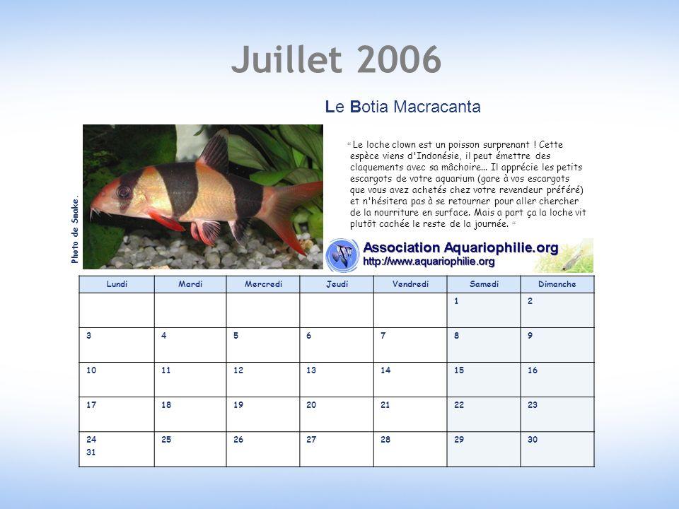 Juillet 2006 LundiMardiMercrediJeudiVendrediSamediDimanche 12 3456789 10111213141516 17181920212223 24 31 252627282930 Le Botia Macracanta Le loche clown est un poisson surprenant .