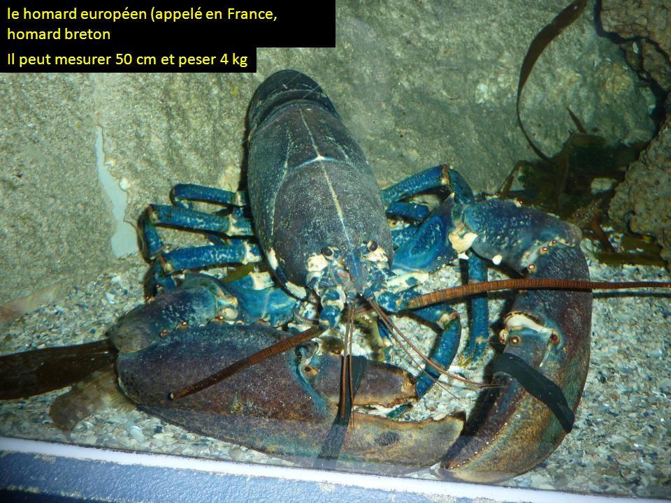 Ce grand crustacé, dépourvu de pinces, mesure jusquà 50 cm et pèse jusqu'à 4 kg langouste