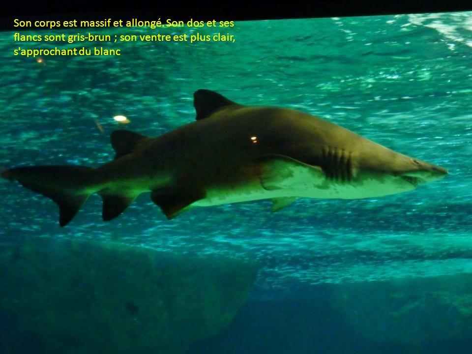 Le requin taureau mesure généralement entre 2,5 mètres et 2,8 mètres, mais on a observé des individus dont la taille atteignait 3,70 m