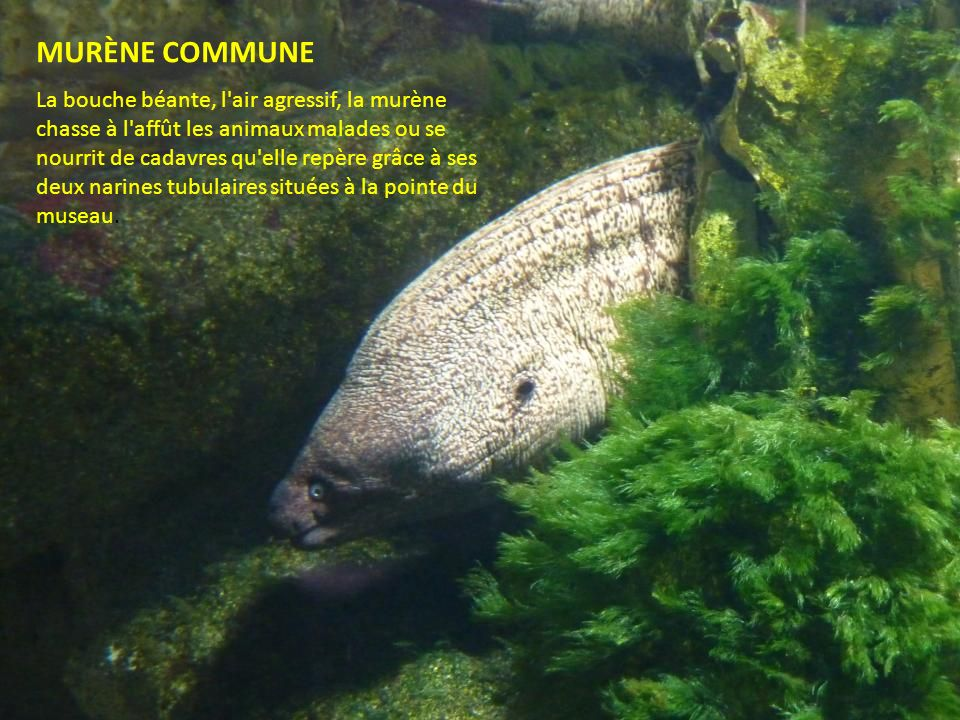 MURÈNE COMMUNE Taille 1,50 m
