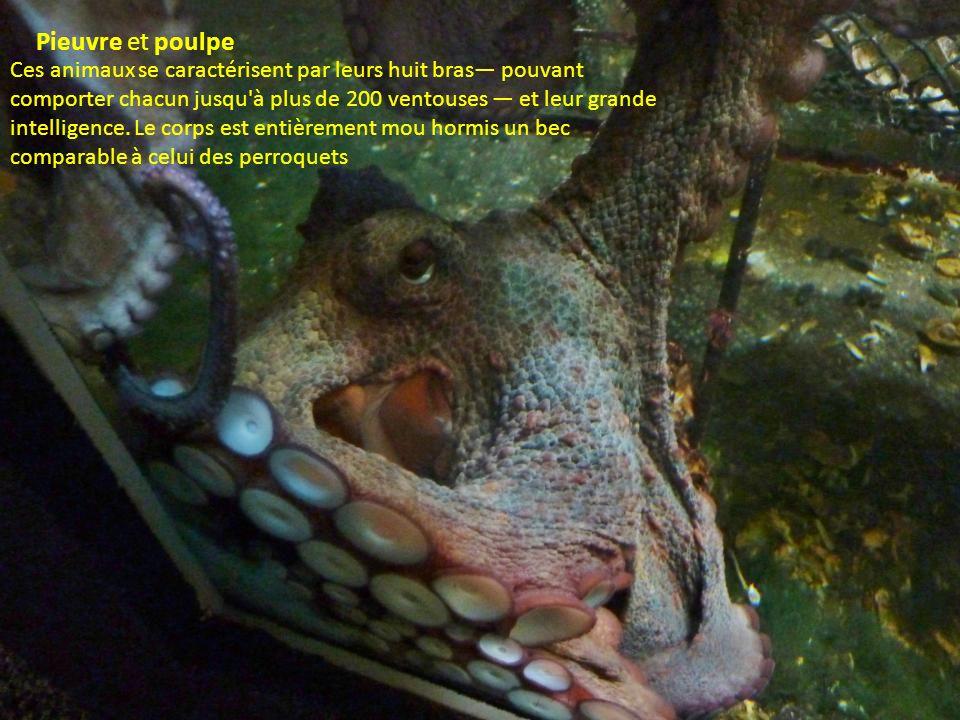 Les roussettes sont des petits requins ; il en existe plus de 150 espèces connue dans nos assiettes sous le nom de saumonette.