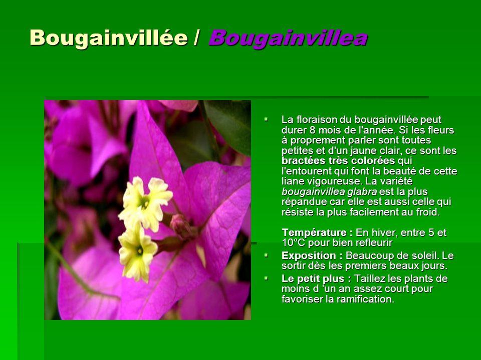Bougainvillée / Bougainvillea La floraison du bougainvillée peut durer 8 mois de l'année. Si les fleurs à proprement parler sont toutes petites et d'u