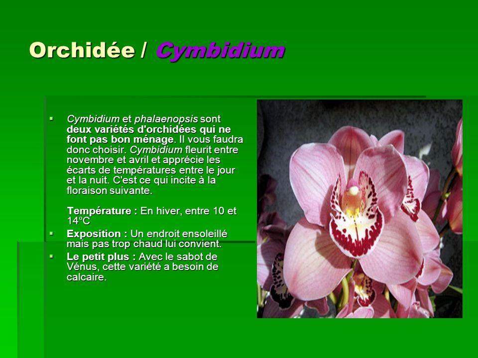 Orchidée / Cymbidium Cymbidium et phalaenopsis sont deux variétés d'orchidées qui ne font pas bon ménage. Il vous faudra donc choisir. Cymbidium fleur