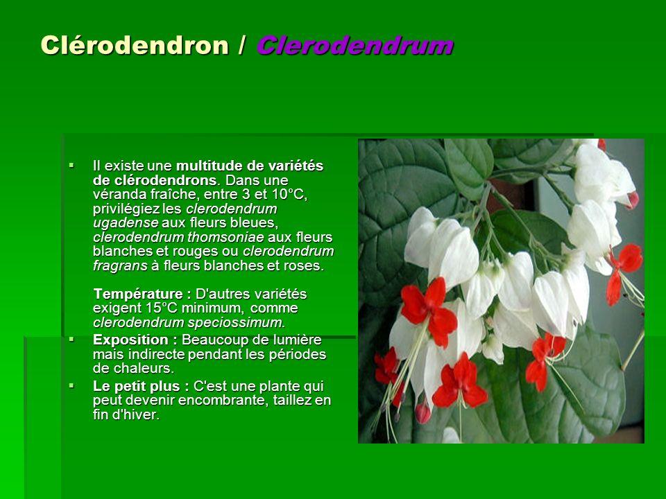 Il existe une multitude de variétés de clérodendrons. Dans une véranda fraîche, entre 3 et 10°C, privilégiez les clerodendrum ugadense aux fleurs bleu