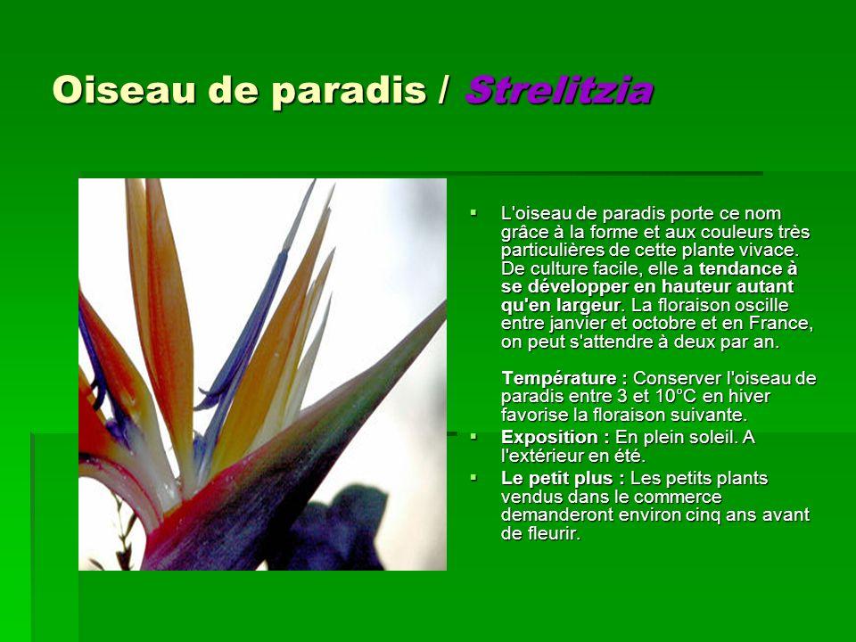 Oiseau de paradis / Strelitzia L'oiseau de paradis porte ce nom grâce à la forme et aux couleurs très particulières de cette plante vivace. De culture