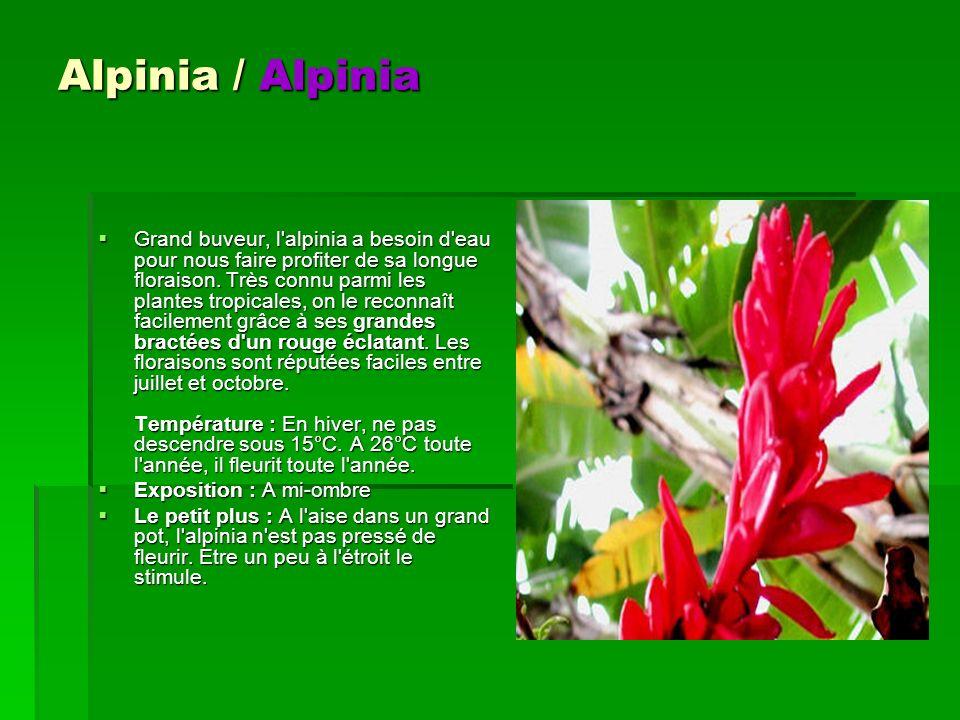 Alpinia / Alpinia Grand buveur, l'alpinia a besoin d'eau pour nous faire profiter de sa longue floraison. Très connu parmi les plantes tropicales, on