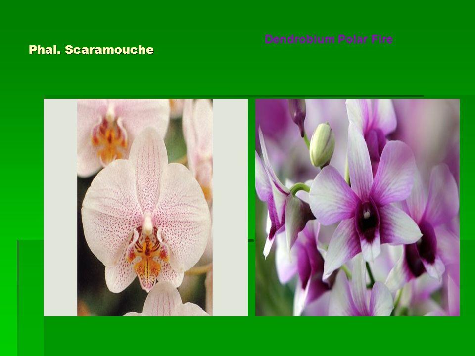 Phal. Scaramouche Dendrobium Polar Fire