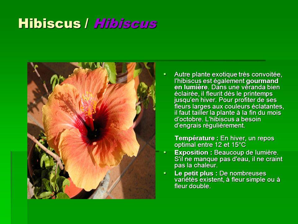 Hibiscus / Hibiscus Autre plante exotique très convoitée, l'hibiscus est également gourmand en lumière. Dans une véranda bien éclairée, il fleurit dès
