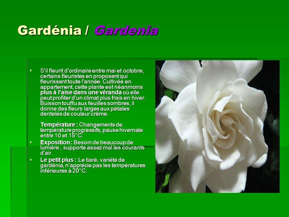 Gardénia / Gardenia S'il fleurit d'ordinaire entre mai et octobre, certains fleuristes en proposent qui fleurissent toute l'année. Cultivée en apparte