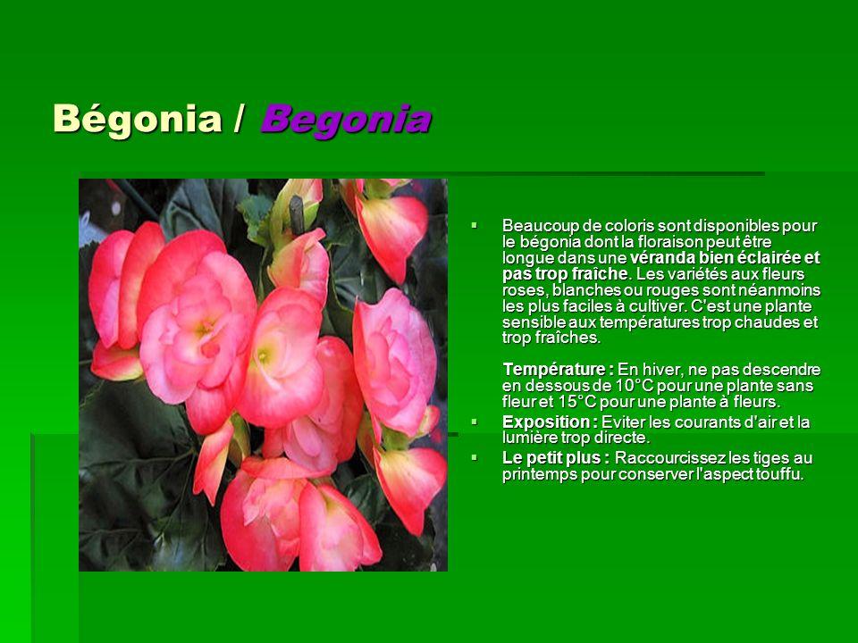 Bégonia / Begonia Bégonia / Begonia Beaucoup de coloris sont disponibles pour le bégonia dont la floraison peut être longue dans une véranda bien écla