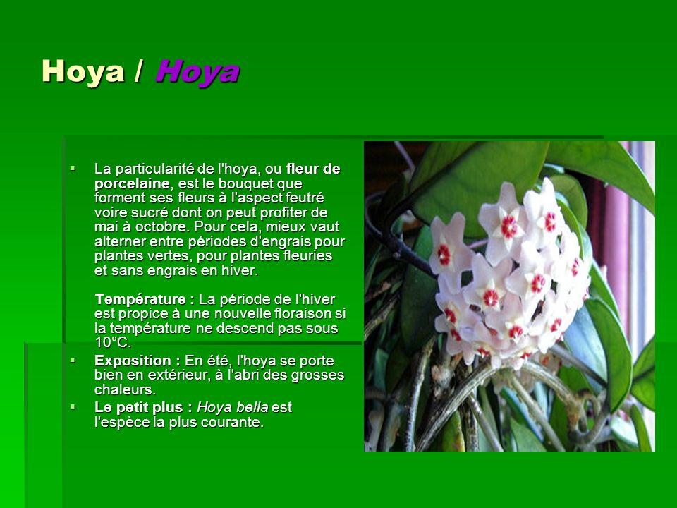 Hoya / Hoya La particularité de l'hoya, ou fleur de porcelaine, est le bouquet que forment ses fleurs à l'aspect feutré voire sucré dont on peut profi