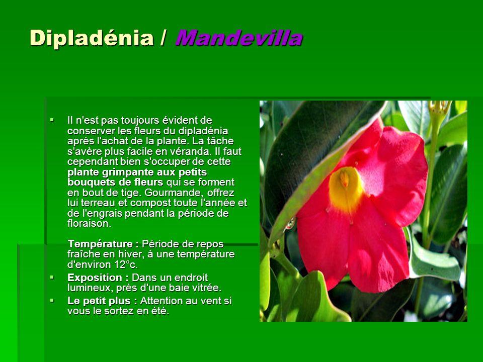 Dipladénia / Mandevilla Il n'est pas toujours évident de conserver les fleurs du dipladénia après l'achat de la plante. La tâche s'avère plus facile e
