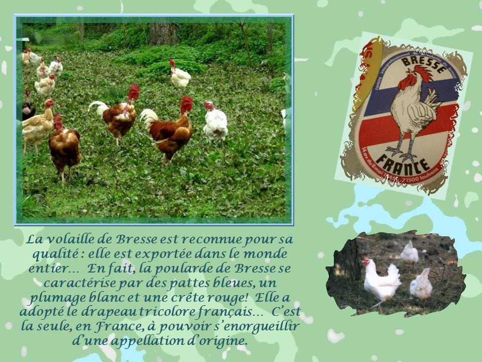 En Bresse, chaque ferme avait ses mares nécessaires à la vie quotidienne. Bordées de roseaux et de saules, elles étaient le paradis des grenouilles, d