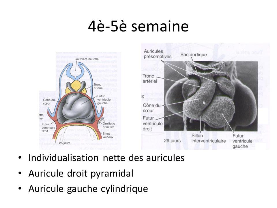 4è-5è semaine Individualisation nette des auricules Auricule droit pyramidal Auricule gauche cylindrique