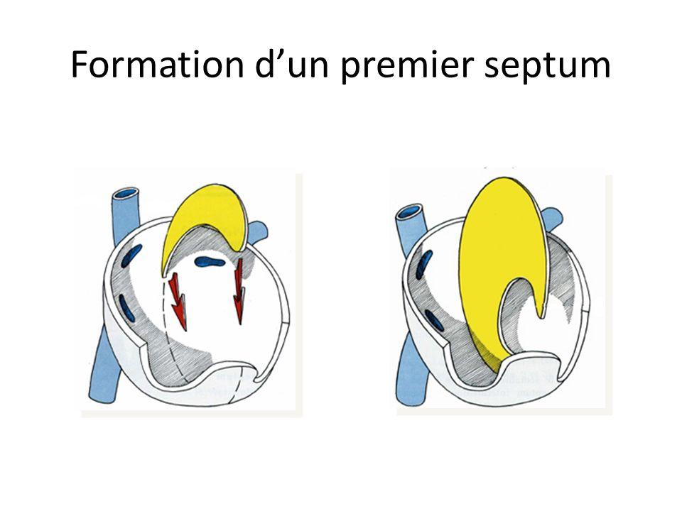 Formation dun premier septum