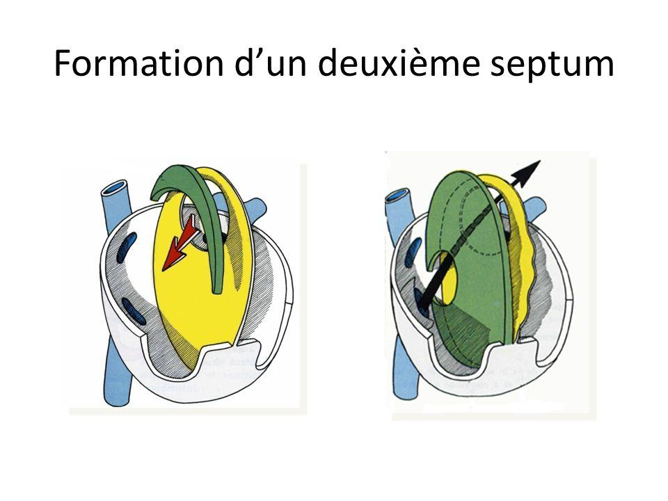 Formation dun deuxième septum