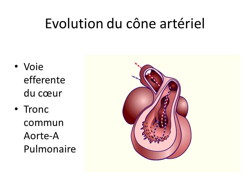 Evolution du cône artériel Voie efferente du cœur Tronc commun Aorte-A Pulmonaire