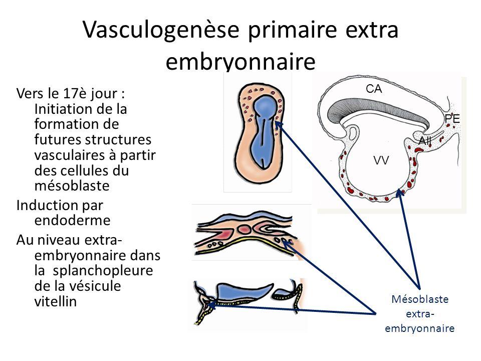 Vasculogenèse primaire extra embryonnaire Vers le 17è jour : Initiation de la formation de futures structures vasculaires à partir des cellules du mésoblaste Induction par endoderme Au niveau extra- embryonnaire dans la splanchopleure de la vésicule vitellin Mésoblaste extra- embryonnaire VV CA All PE