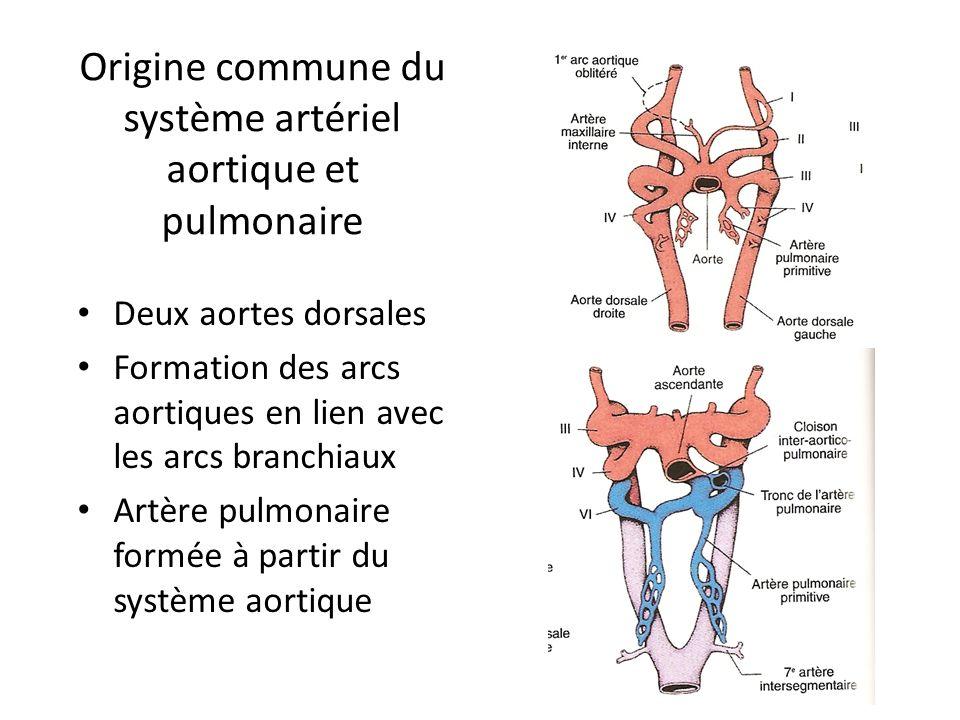 Origine commune du système artériel aortique et pulmonaire Deux aortes dorsales Formation des arcs aortiques en lien avec les arcs branchiaux Artère pulmonaire formée à partir du système aortique