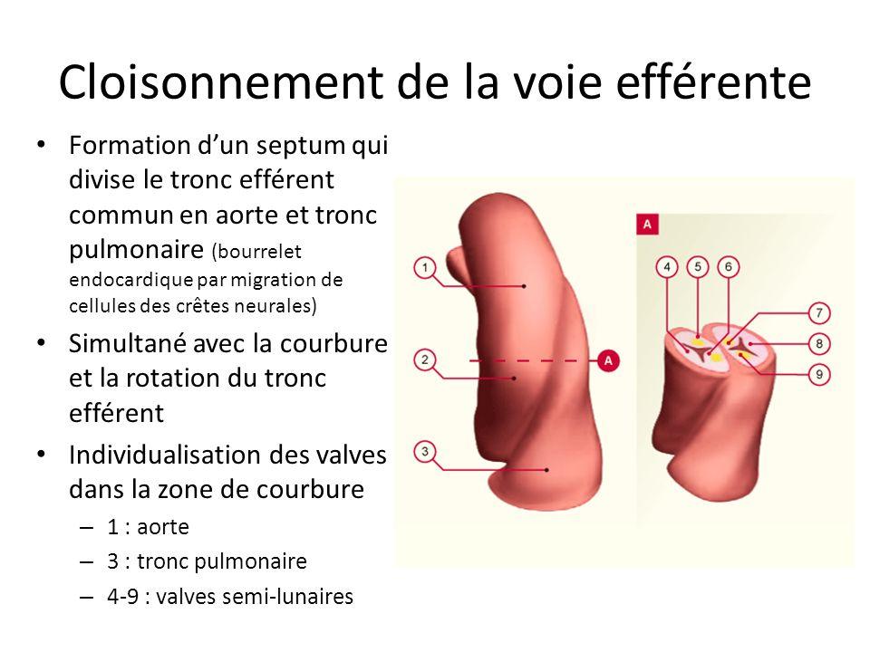 Cloisonnement de la voie efférente Formation dun septum qui divise le tronc efférent commun en aorte et tronc pulmonaire (bourrelet endocardique par migration de cellules des crêtes neurales) Simultané avec la courbure et la rotation du tronc efférent Individualisation des valves dans la zone de courbure – 1 : aorte – 3 : tronc pulmonaire – 4-9 : valves semi-lunaires