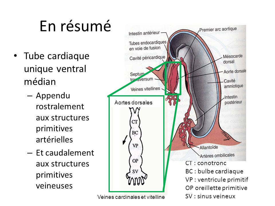 En résumé Tube cardiaque unique ventral médian – Appendu rostralement aux structures primitives artérielles – Et caudalement aux structures primitives veineuses CT : conotronc BC : bulbe cardiaque VP : ventricule primitif OP oreillette primitive SV : sinus veineux Veines cardinales et vitelline Aortes dorsales