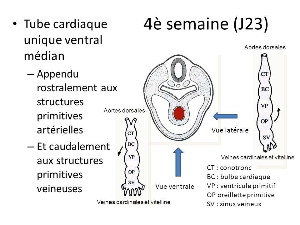 Battements cardiaques Dès le stade de tube cardiaque, les cellules myocardiques ont une activité contractile Le tissu nodal de conduction autonome Apparition des battements cardiaques vers le 22è jour Vésicule vitelline Embryon J22
