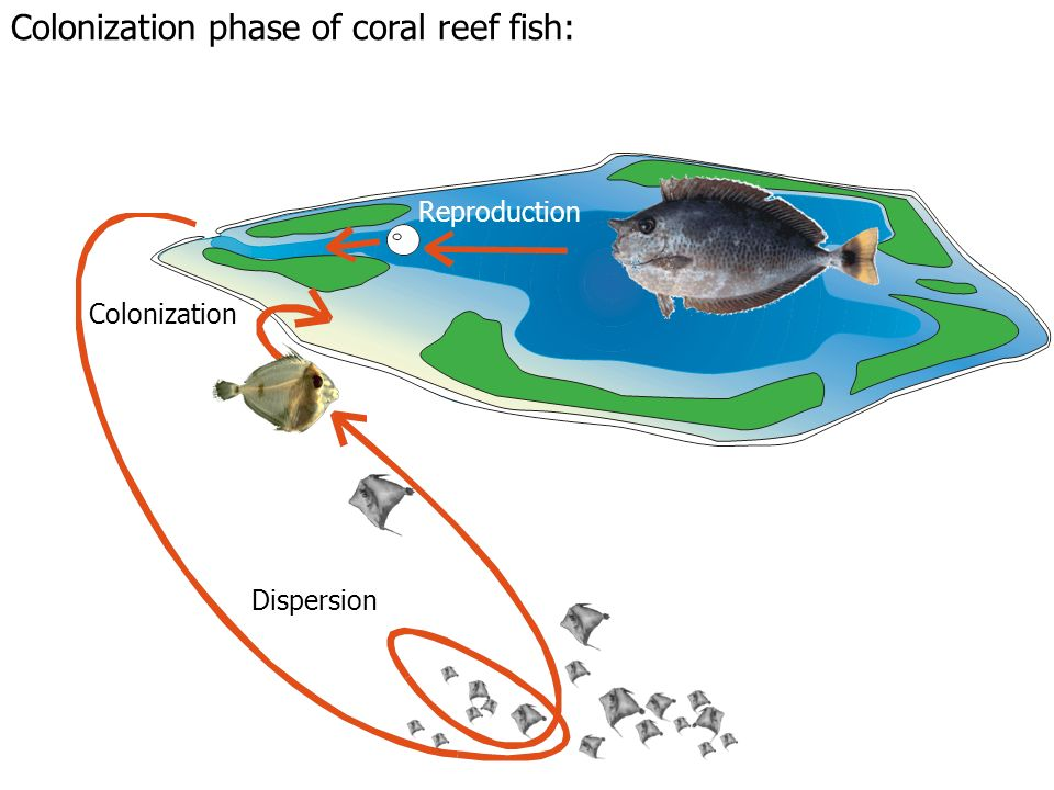 Reproduction Dispersion Colonization Colonization phase of coral reef fish: