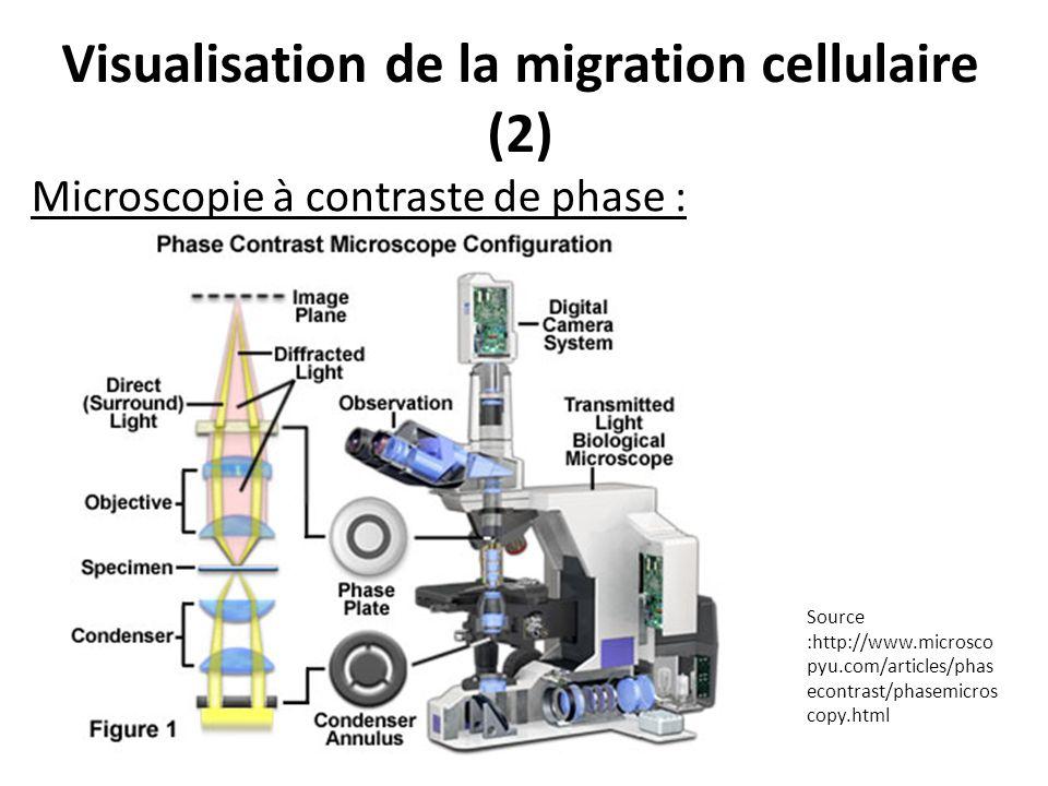Visualisation de la migration cellulaire (2) Microscopie à contraste de phase : Source :http://www.microsco pyu.com/articles/phas econtrast/phasemicro