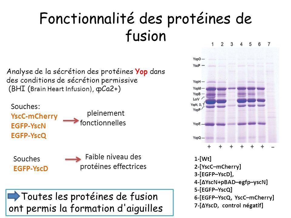 Fonctionnalité des protéines de fusion Souches: YscC-mCherry EGFP-YscN EGFP-YscQ 1-[Wt] 2-[YscC–mCherry] 3-[EGFP–YscD], 4-[ΔYscN+pBAD–egfp–yscN] 5-[EGFP–YscQ] 6-[EGFP–YscQ, YscC–mCherry] 7-[ΔYscD, control négatif] Analyse de la sécrétion des protéines Yop dans des conditions de sécrétion permissive (BHI ( Brain Heart Infusion), фCa2+) pleinement fonctionnelles Souches EGFP-YscD Faible niveau des protéines effectrices Toutes les protéines de fusion ont permis la formation d aiguilles