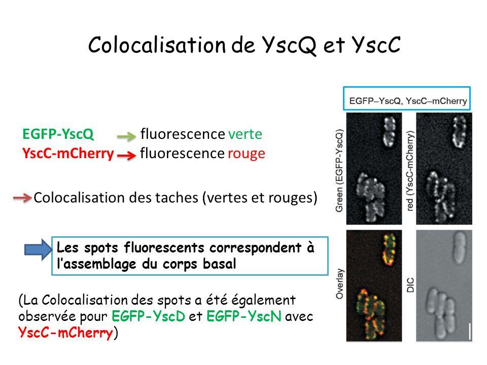 Colocalisation de YscQ et YscC EGFP-YscQ fluorescence verte YscC-mCherry fluorescence rouge Colocalisation des taches (vertes et rouges) Les spots fluorescents correspondent à lassemblage du corps basal (La Colocalisation des spots a été également observée pour EGFP-YscD et EGFP-YscN avec YscC-mCherry)