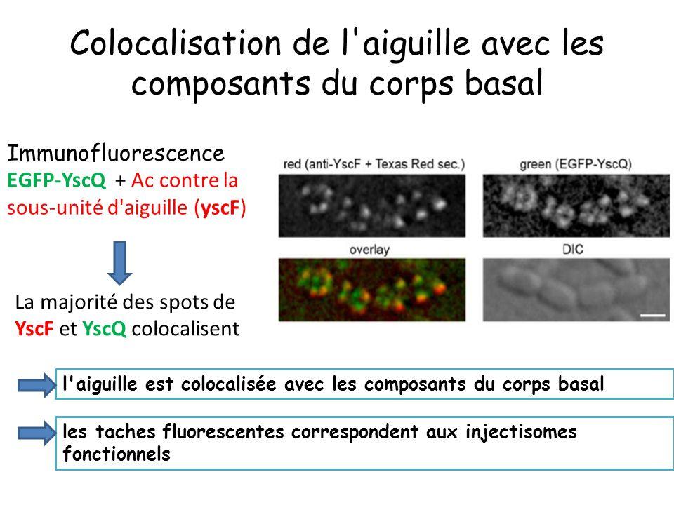 Colocalisation de l aiguille avec les composants du corps basal Immunofluorescence EGFP-YscQ + Ac contre la sous-unité d aiguille (yscF) La majorité des spots de YscF et YscQ colocalisent l aiguille est colocalisée avec les composants du corps basal les taches fluorescentes correspondent aux injectisomes fonctionnels