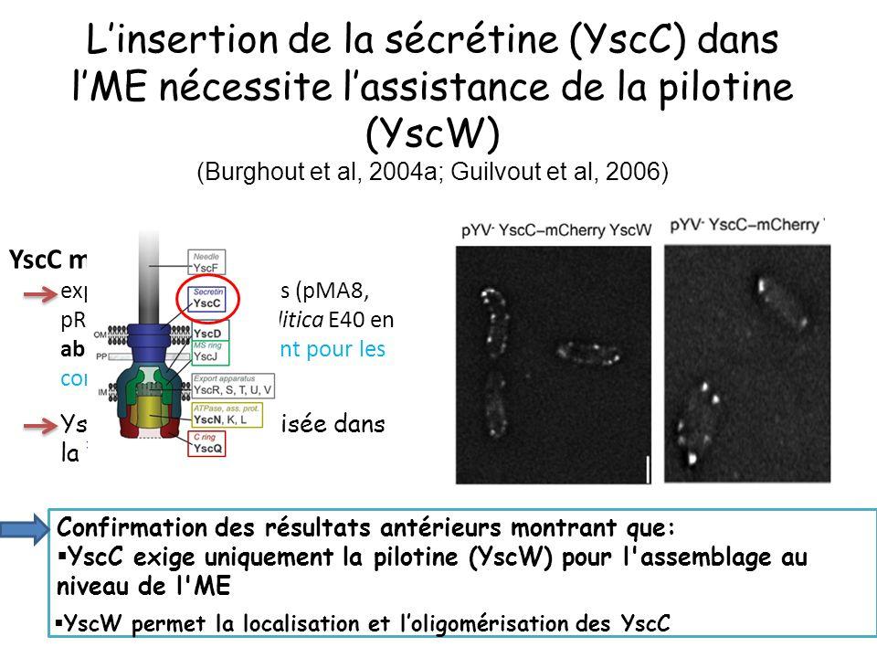 Linsertion de la sécrétine (YscC) dans lME nécessite lassistance de la pilotine (YscW) (Burghout et al, 2004a; Guilvout et al, 2006) YscC mCherry + YscW exprimés en trans dans (pMA8, pRS6) chez Y.enterocolitica E40 en absence de pYV (codant pour les composants de T3S) YscC-mCherry localisée dans la membrane Confirmation des résultats antérieurs montrant que: YscC exige uniquement la pilotine (YscW) pour l assemblage au niveau de l ME YscW permet la localisation et loligomérisation des YscC