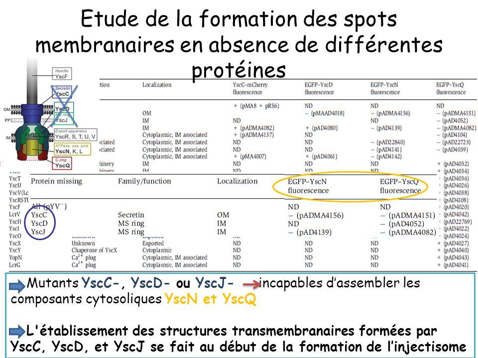 Mutants YscC-, YscD- ou YscJ- incapables dassembler les composants cytosoliques YscN et YscQ L établissement des structures transmembranaires formées par YscC, YscD, et YscJ se fait au début de la formation de linjectisome Etude de la formation des spots membranaires en absence de différentes protéines