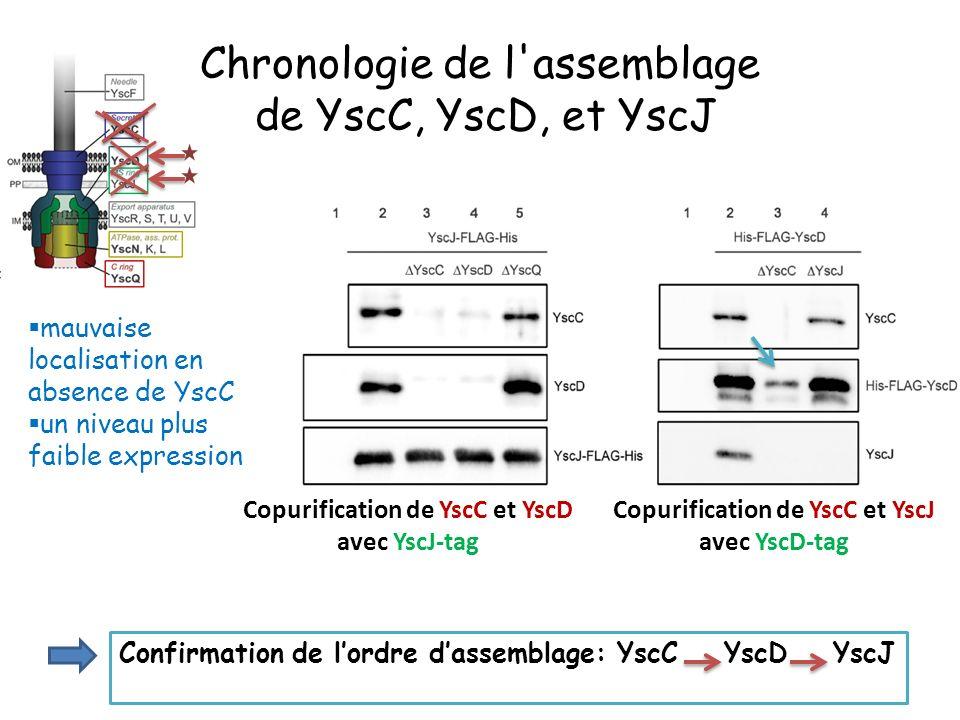 mauvaise localisation en absence de YscC un niveau plus faible expression Confirmation de lordre dassemblage: YscC YscD YscJ Copurification de YscC et YscD avec YscJ-tag Copurification de YscC et YscJ avec YscD-tag Chronologie de l assemblage de YscC, YscD, et YscJ