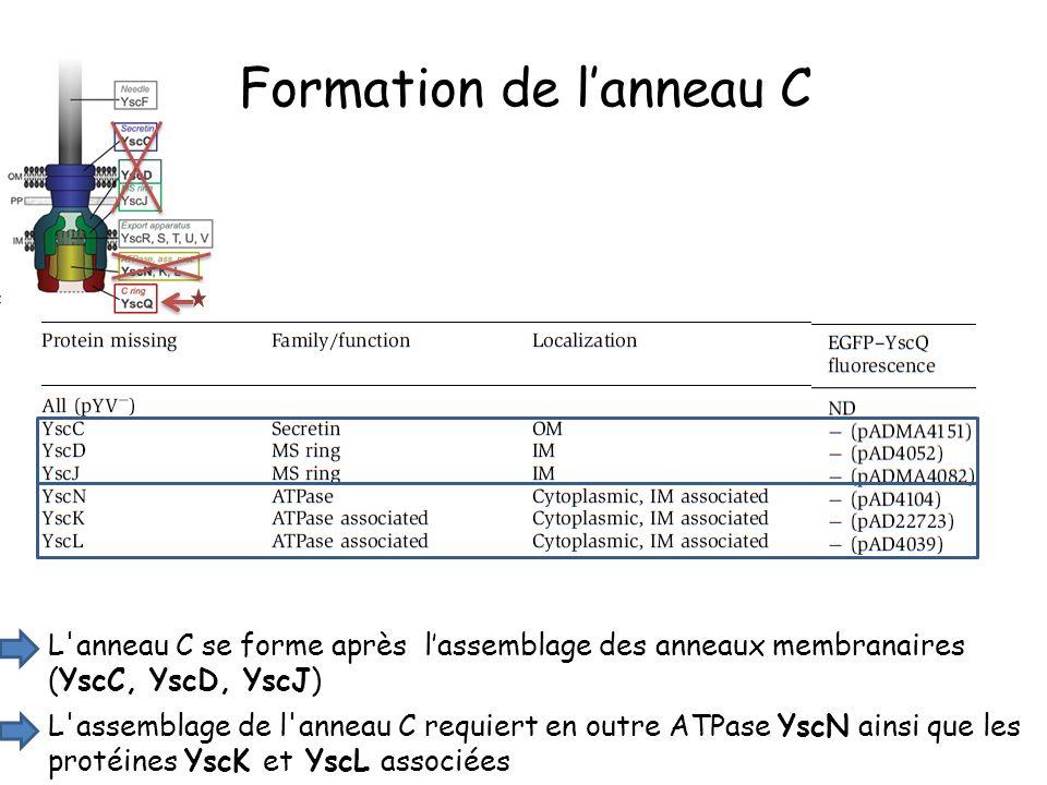 L anneau C se forme après lassemblage des anneaux membranaires (YscC, YscD, YscJ) Formation de lanneau C L assemblage de l anneau C requiert en outre ATPase YscN ainsi que les protéines YscK et YscL associées