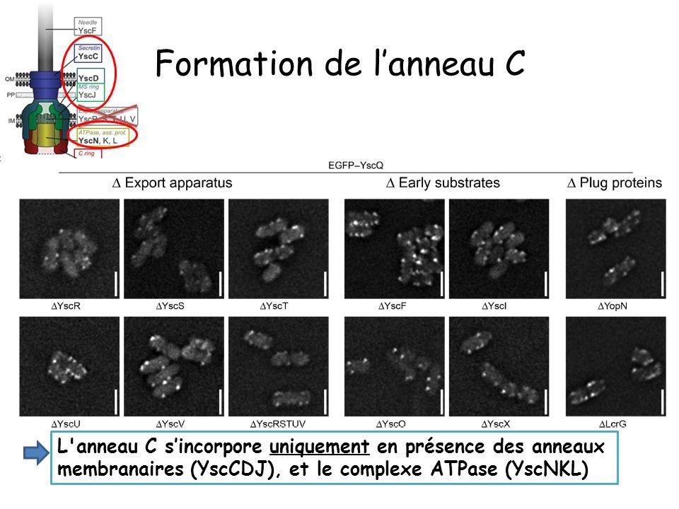 Formation de lanneau C L anneau C sincorpore uniquement en présence des anneaux membranaires (YscCDJ), et le complexe ATPase (YscNKL)