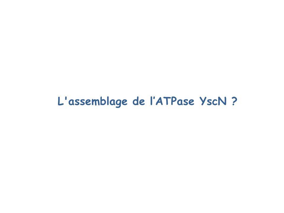L assemblage de lATPase YscN ?
