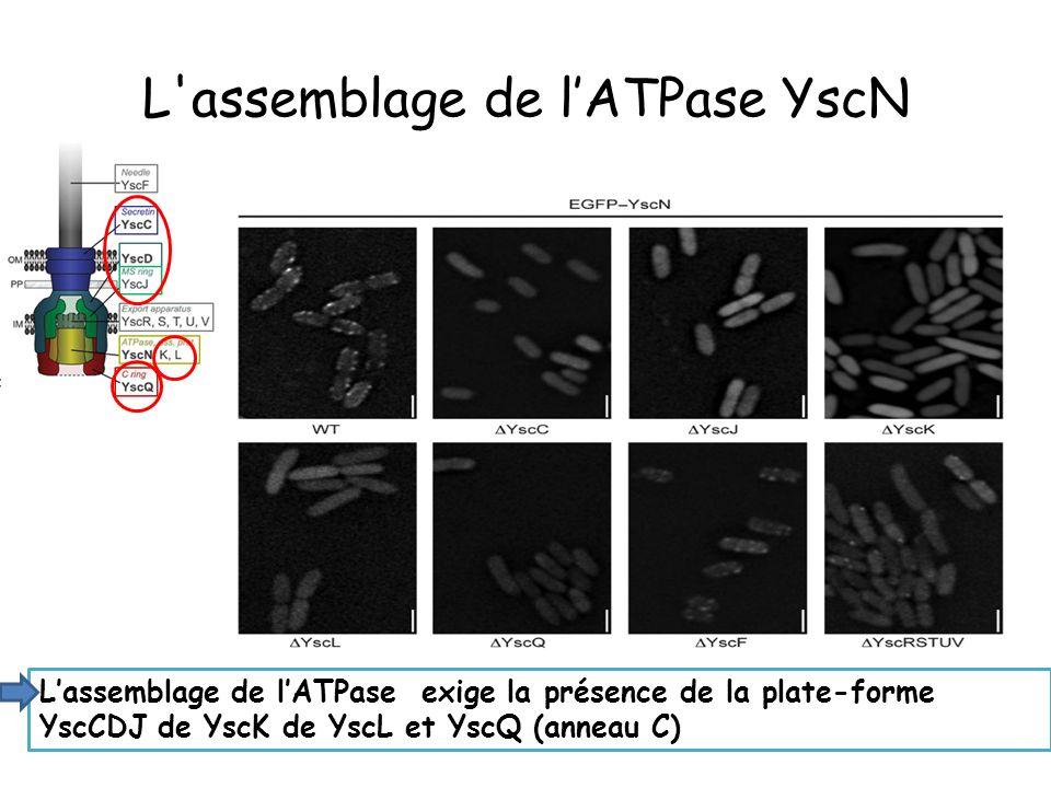 L assemblage de lATPase YscN Lassemblage de lATPase exige la présence de la plate-forme YscCDJ de YscK de YscL et YscQ (anneau C)