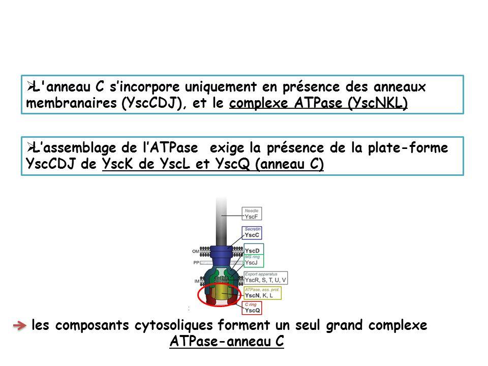 les composants cytosoliques forment un seul grand complexe ATPase-anneau C L anneau C sincorpore uniquement en présence des anneaux membranaires (YscCDJ), et le complexe ATPase (YscNKL) Lassemblage de lATPase exige la présence de la plate-forme YscCDJ de YscK de YscL et YscQ (anneau C)